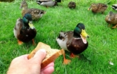 Eenden en hand met brood
